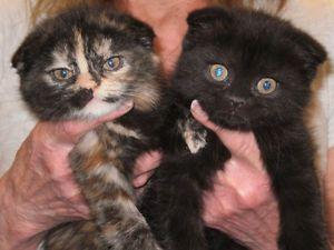 Scottish Fold Kittens For Adoption Cats Kittens For Sale London Kijiji Scottish Fold Kittens Scottish Fold Kitten Adoption