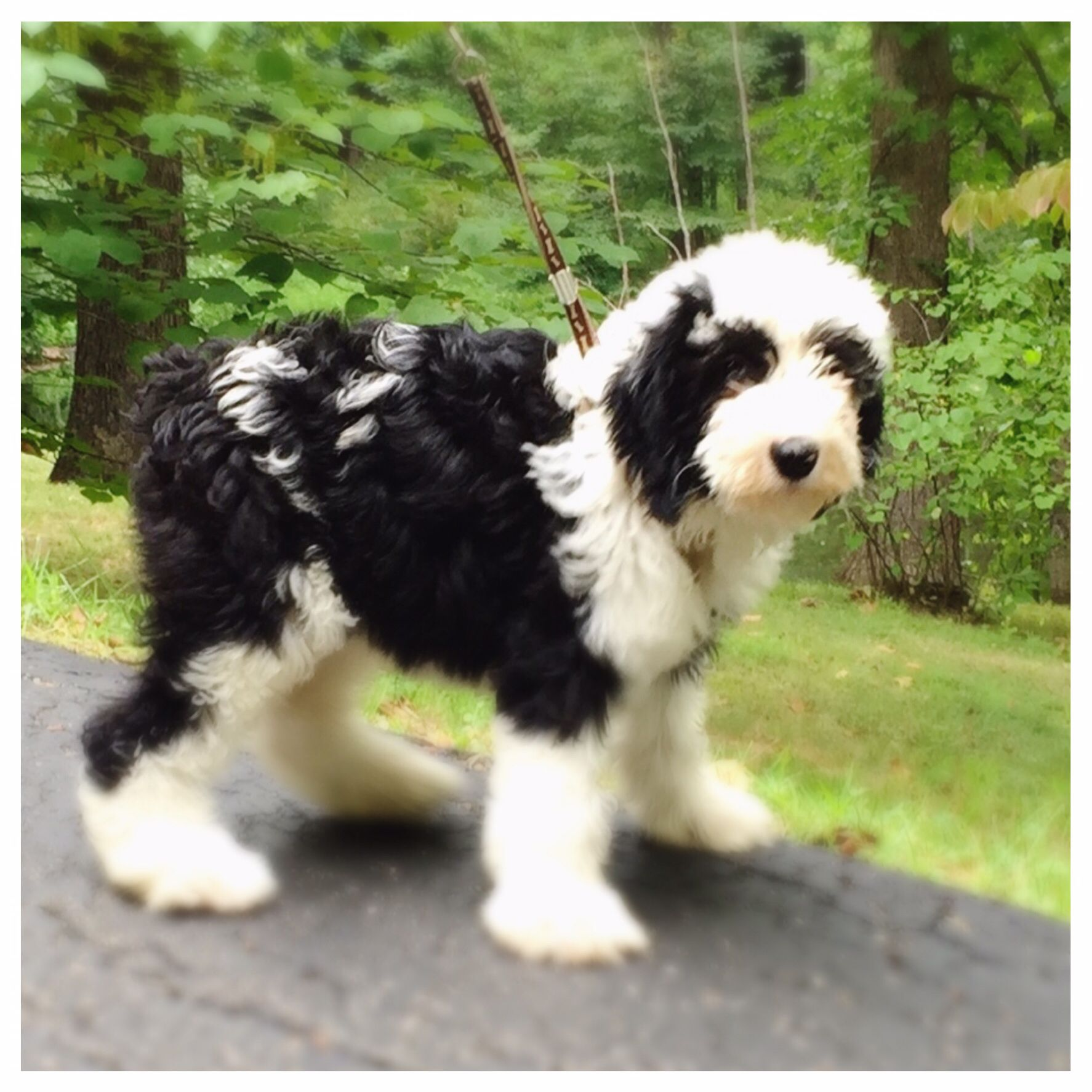 Mini Sheepadoodle Feathers And Fleece My Dogs Sheepadoodle Puppy