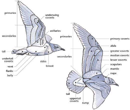 External Anatomy Of A Bird Wing Anatomy Bird Drawings Bird Wings