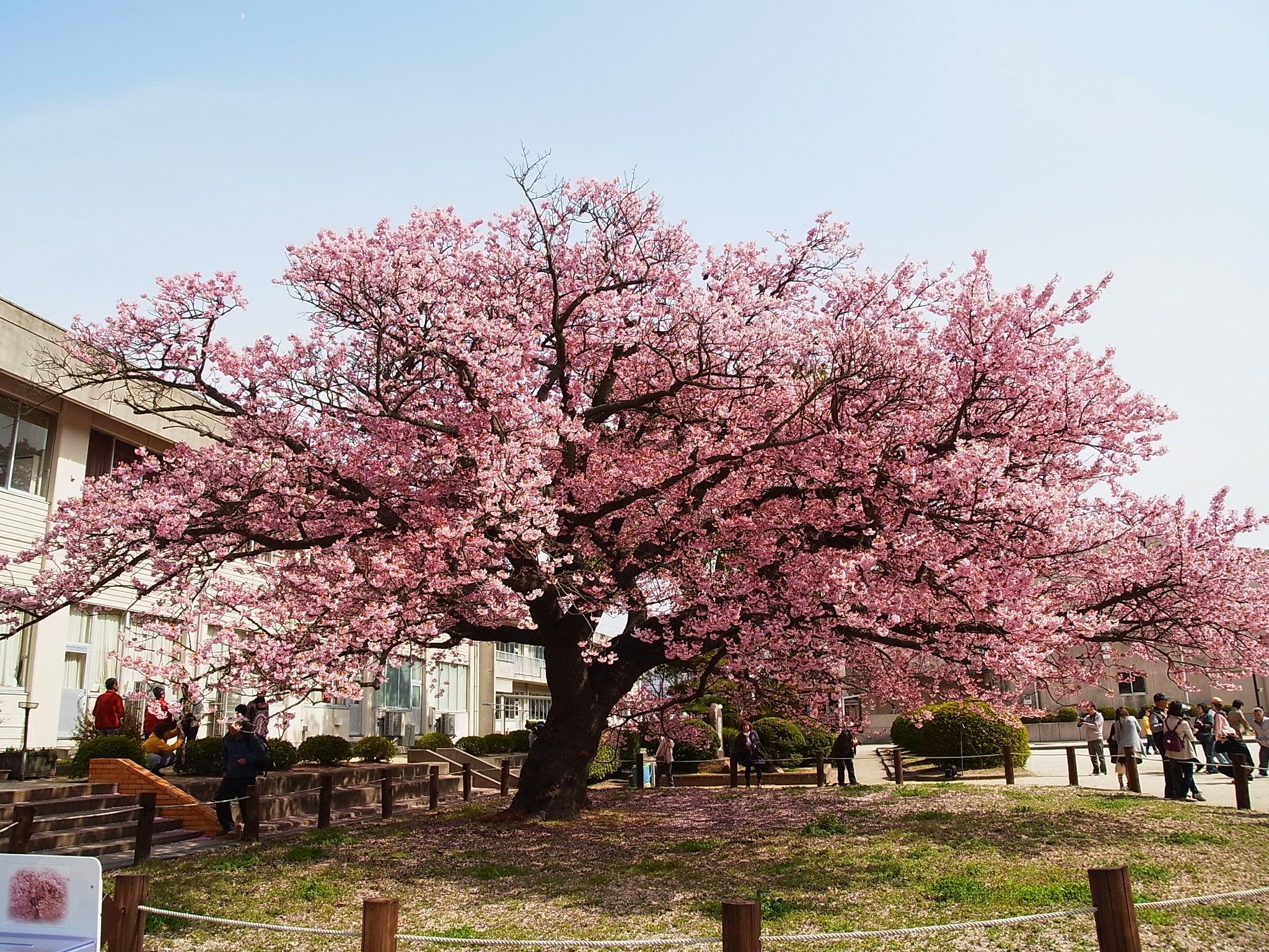 Best Flowering Trees Japanese Flowering Cherry Tree Kagawa Ymg On Flickr Cc By Ornamental Trees Flowering Trees Japanese Cherry Tree