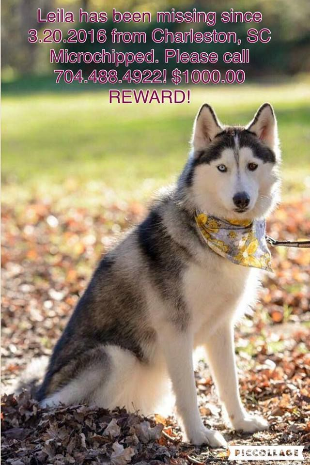 Lost This Black And White Bi Eyed One Blue One Brown Female Siberian Husky Named Leila Leila Has Female Siberian Husky Siberian Husky Names Husky Names