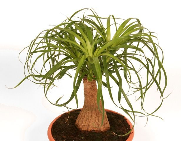 Beaucarnea recurvata nolina pied d 39 l phant arbre for Plante jardiland