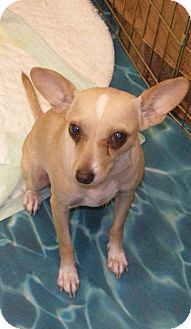 Helen Is A 3 Year Old Chihuahua Mix Available For Adoption In Las Vegas She Gets Along With Other Small Dogs Both Male And Female Pets Pet Adoption Chihuahua