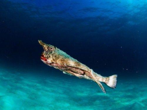 outros peixes peixe faca peixe ventosa peixe médico peixe trombeta