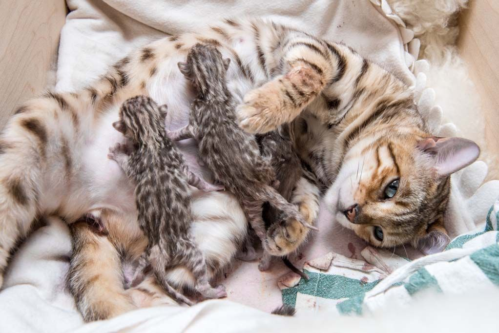 How Much Does A Bengal Cat Cost What You Need To Know Today Bengal Cat Cost Bengal Cat Bengal Kitten