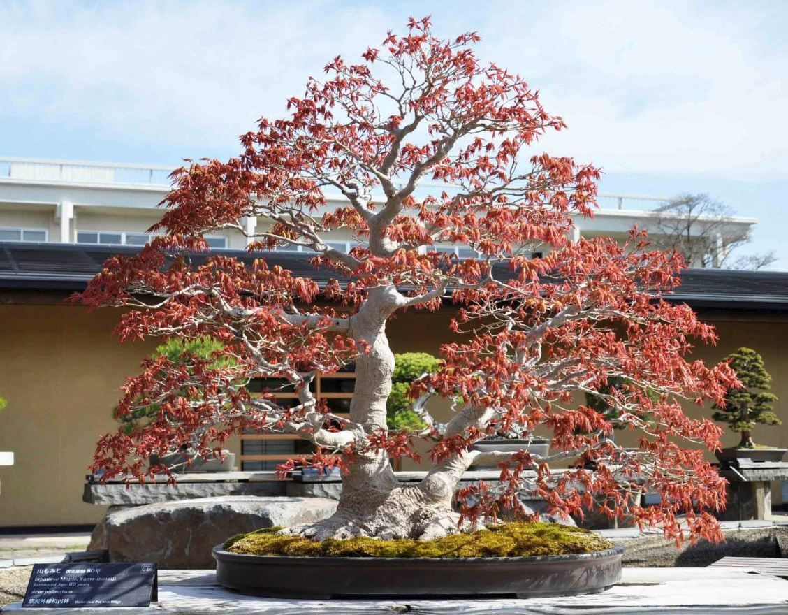 Amazing Bonsai On Display At Omiya Bonsai Museum Of Art In Japan Bonsai Japanese Bonsai Pre Bonsai