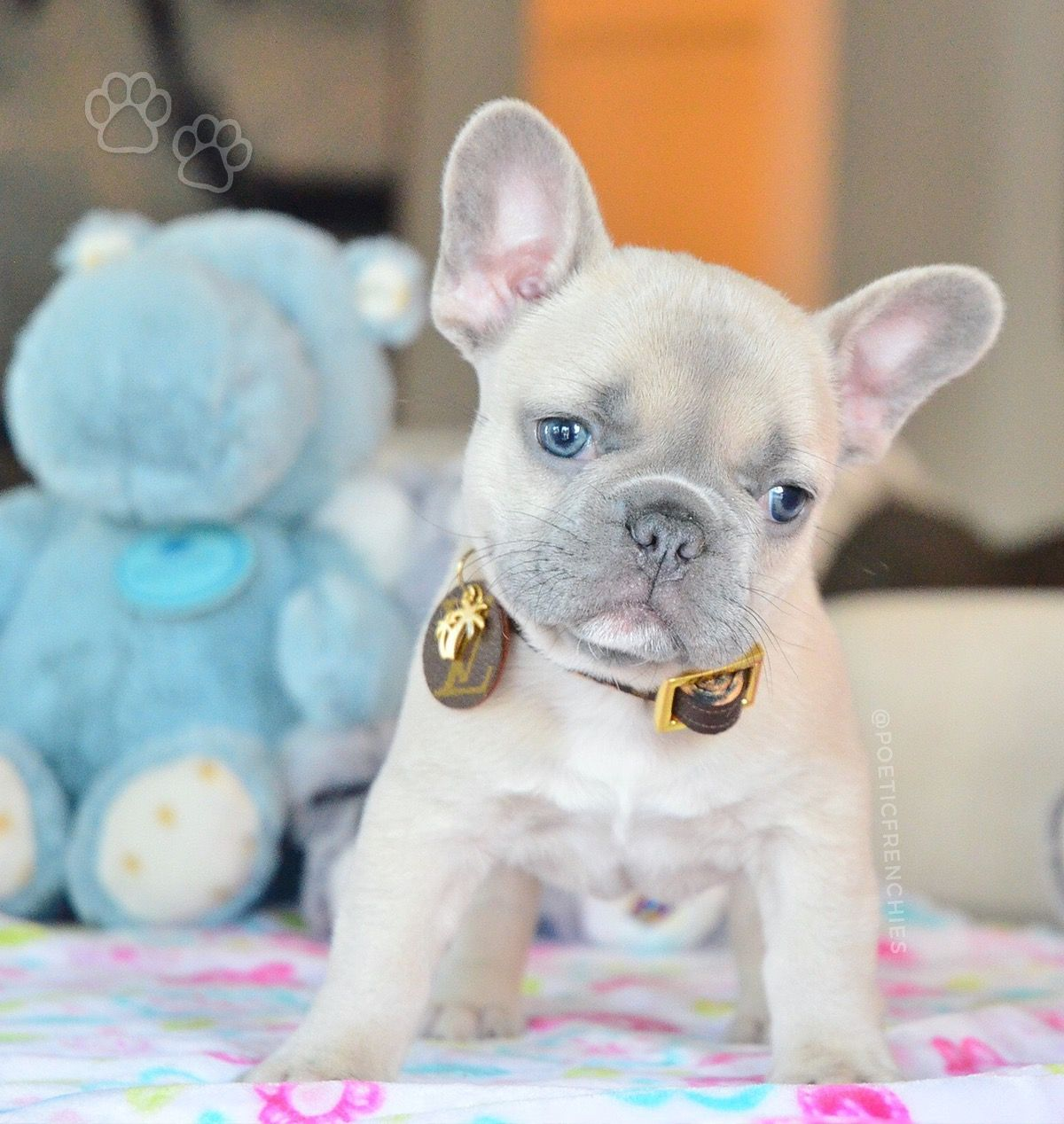 Pin By Laura Rosales On Cute Puppies French Bulldog Puppies