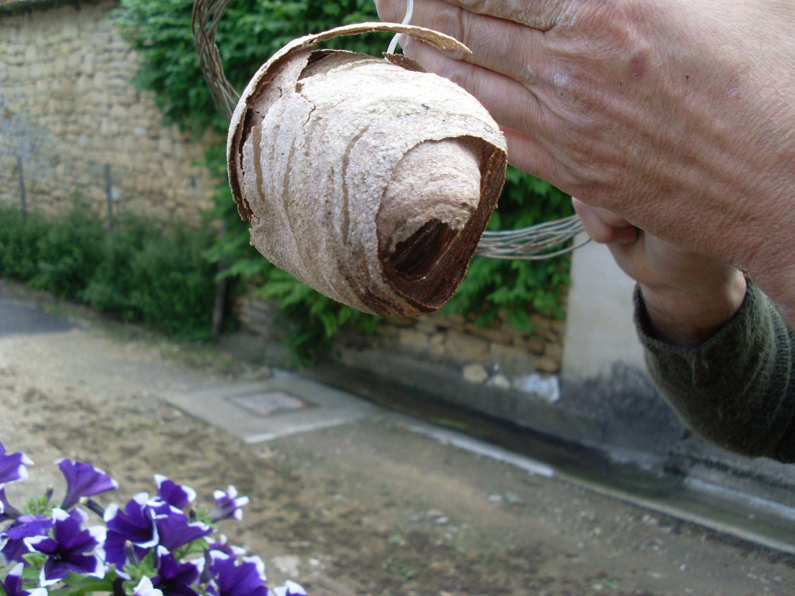 la reine frelon asiatique habite dans ce cocon. Le frelon asiatique est un vrai prédateur, il tue tout.