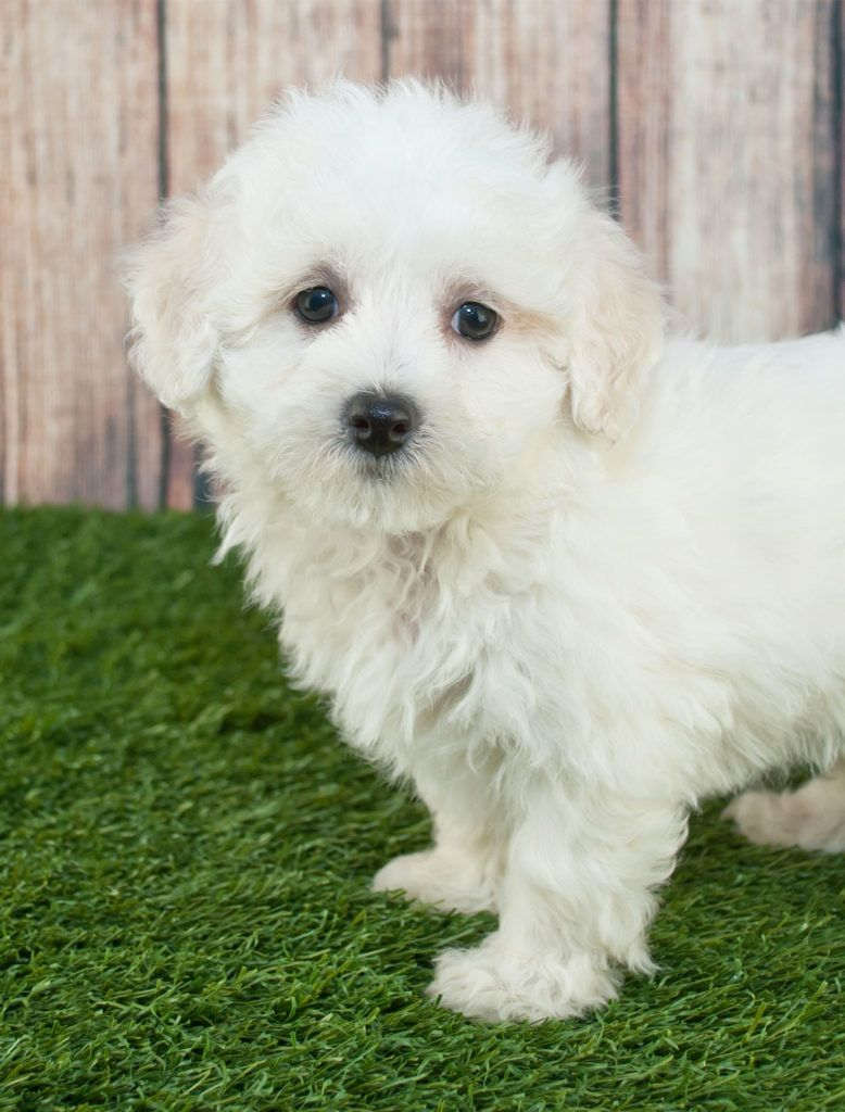 Best Food For Maltipoo Puppies Dogs And Seniors Maltipoo Dog