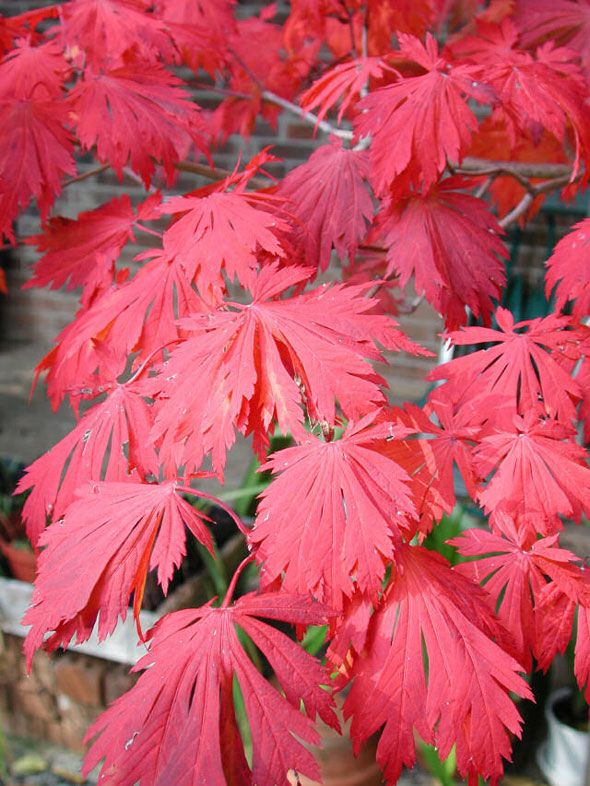 Another Photo Of Dancing Peacock Japanese Maple Acer Japonicum