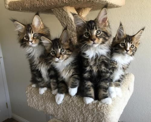 Pin on Beautiful Maine Coon Cats