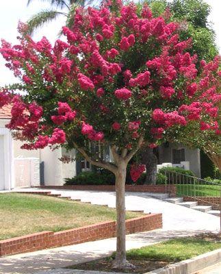 crepe myrtle trees in australia lagerstroemia indica. Black Bedroom Furniture Sets. Home Design Ideas