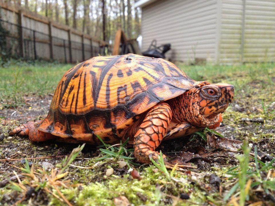 american box turtle on long island paul peluso