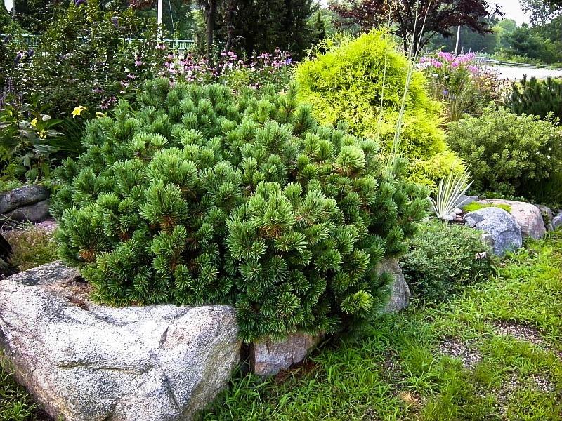 Mugo Pine Plants, Botanical gardens near me, Easy garden