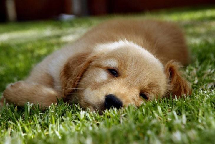M N Male Puppy Names Perro Labrador Cachorros Golden Retrievers