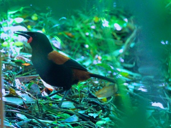 Tiritiri matangi aves raras e exoticas - Pesquisa Google