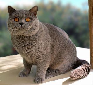 British Shorthair Cat...