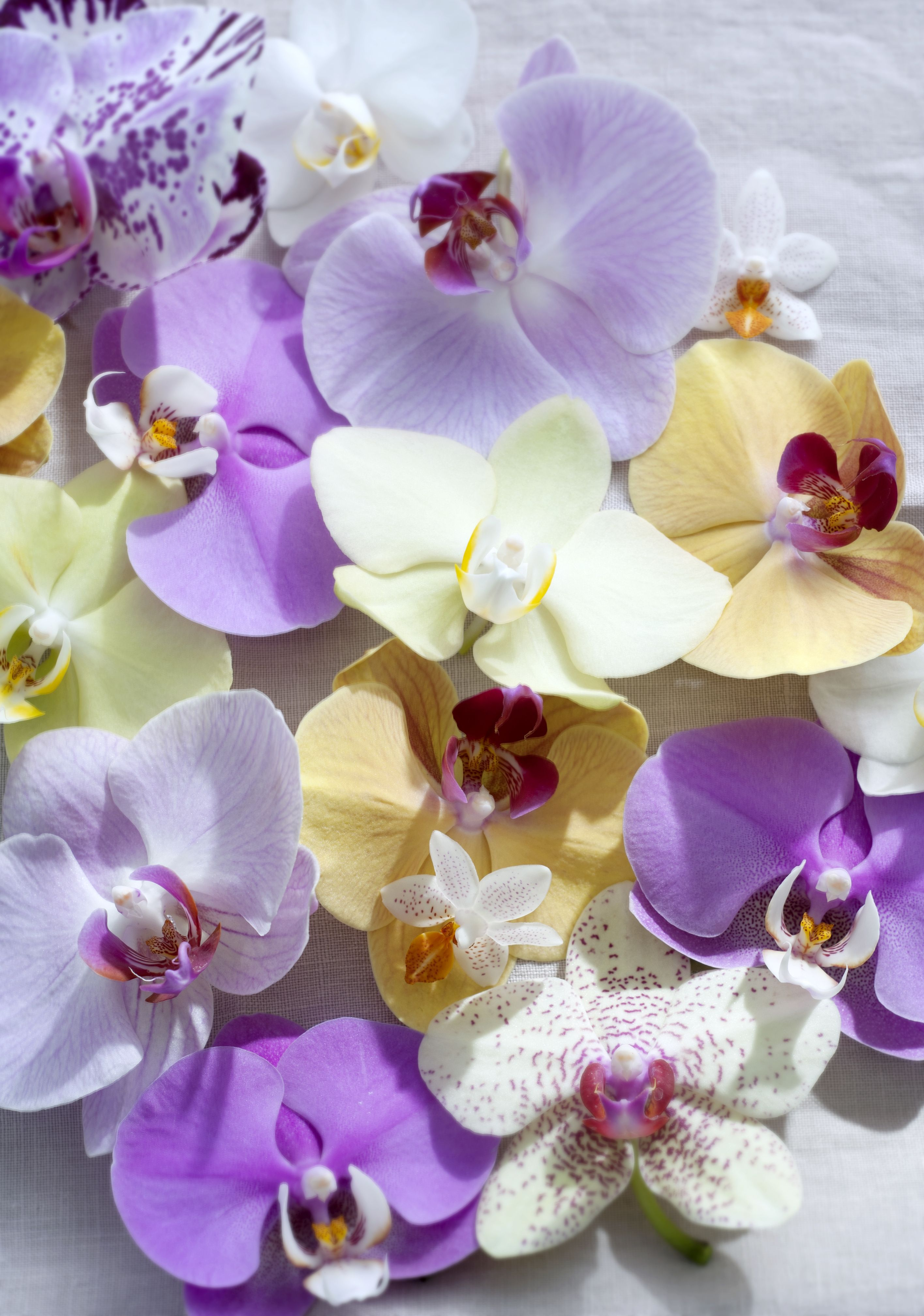 Phalaenopsis orchidee floral pinterest orchid and flowers