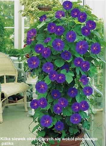 Wilec Purpurowy Plants Flowers Garden
