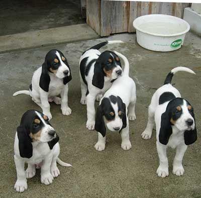 schweizer laufhund berner puppy schweizer laufhund
