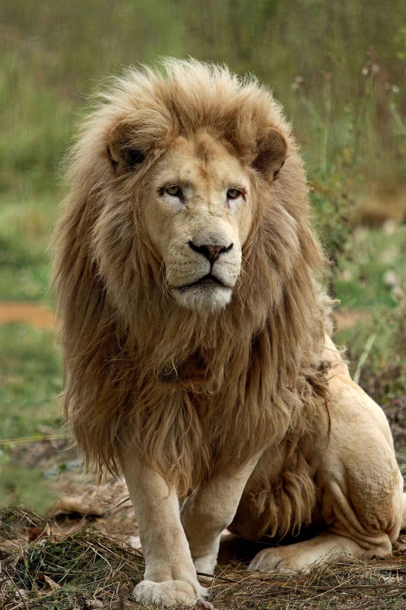 Les Lions Blancs Du Parc Kruger En Afrique Du Sud Sont Atteints De La Meme Mutation Appelee Leucisme Mais A Animals Wild Majestic Animals Animals Beautiful