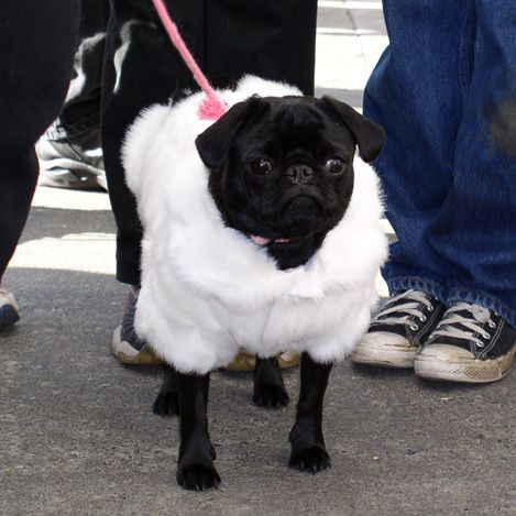 Pugis Hilton Fabulous Fur Coat Pug Black Pug Puppies Cute Dog