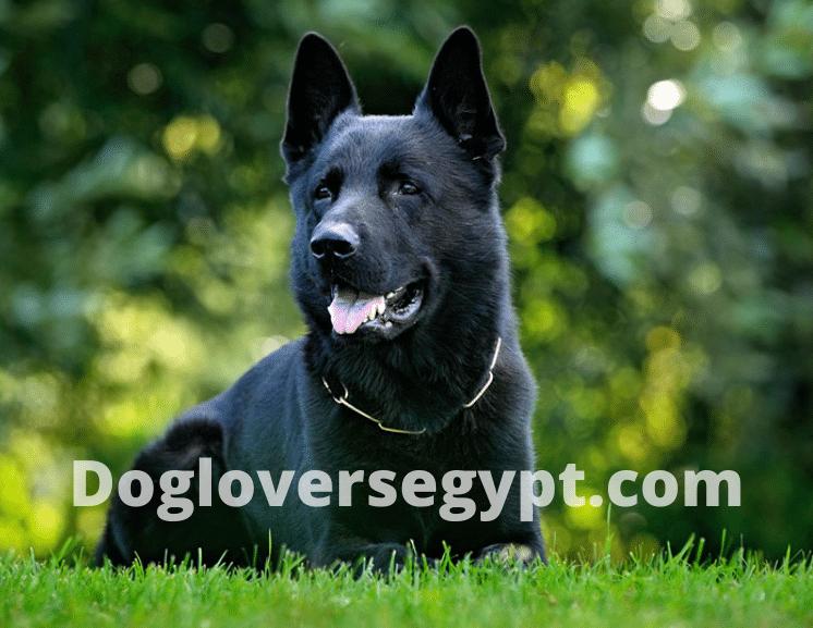 كلاب جيرمن شيبرد اسود Labrador Retriever Animals Labrador