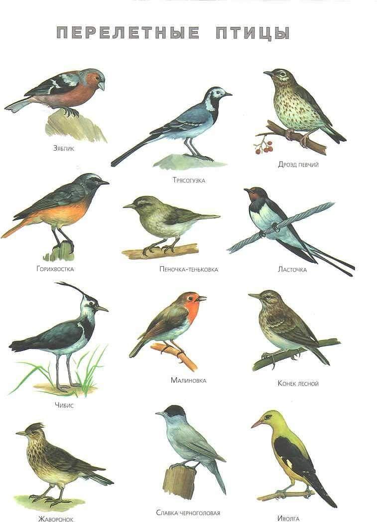 Перелетные птицы: названия для детей, описание, список. Фото