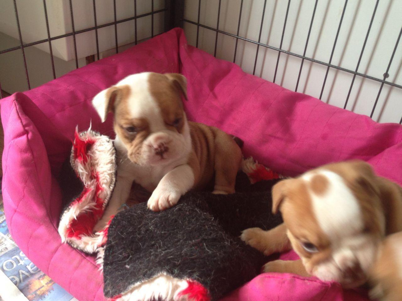 Beautiful Kc Reg English bulldog Puppies, Boy And Girl