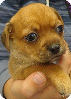 Charles City Ia Rat Terrier Shih Tzu Mix Meet Duke A Puppy For Adoption Rat Terriers Rat Terrier Mix Puppy Adoption