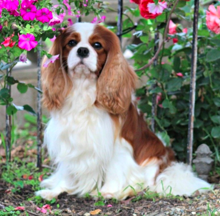 Have You Been Thinking About Adopting A Cavalier This Is Your Sign Click Her Cavalier King Charles Dog King Charles Dog King Charles Cavalier Spaniel Puppy