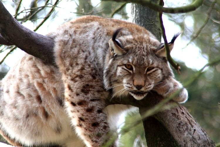 le lynx du canada animaux pinterest felin lynx et animal. Black Bedroom Furniture Sets. Home Design Ideas