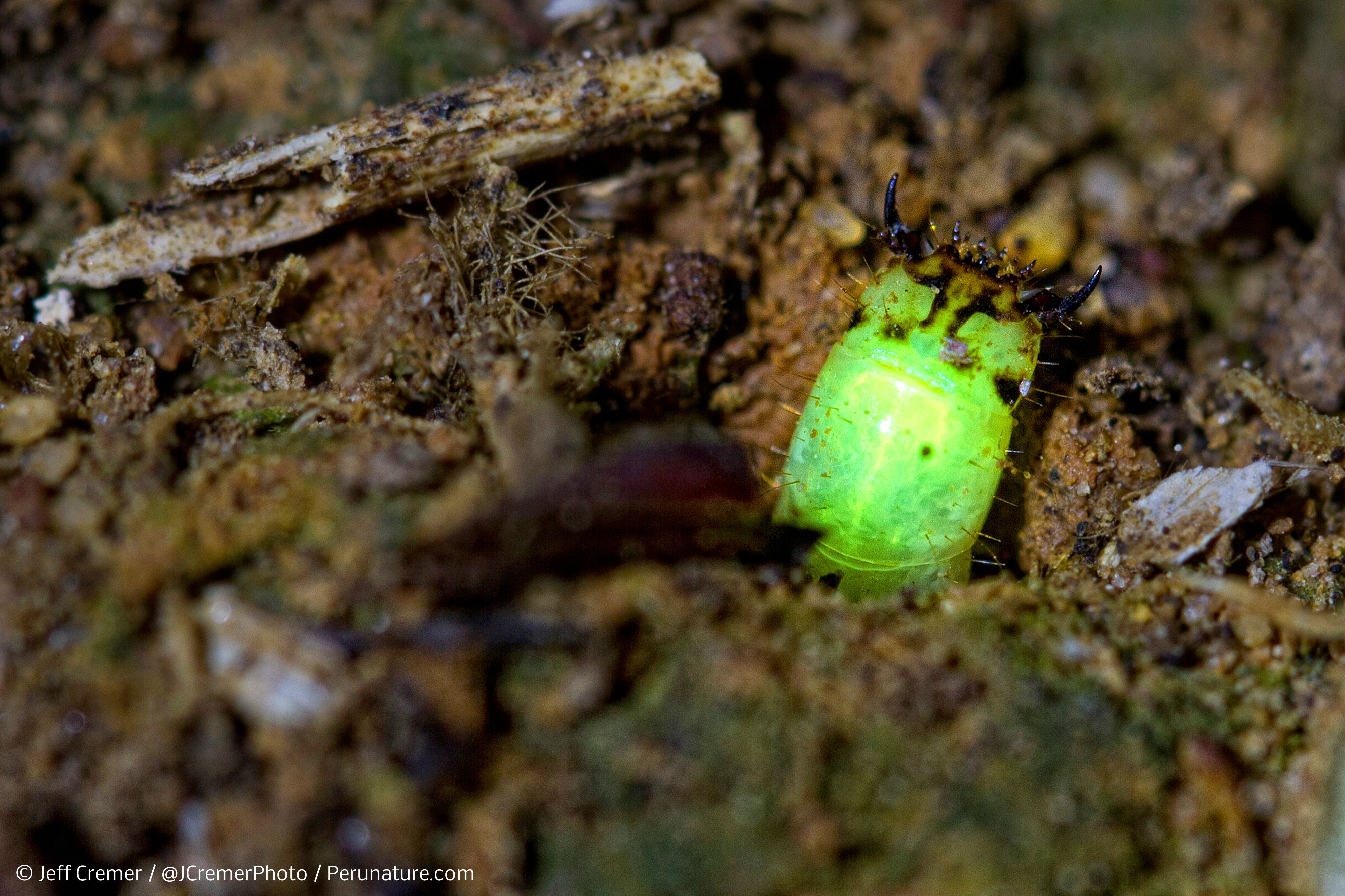 A New Species Of Predatory Glow Worm Discovered In The