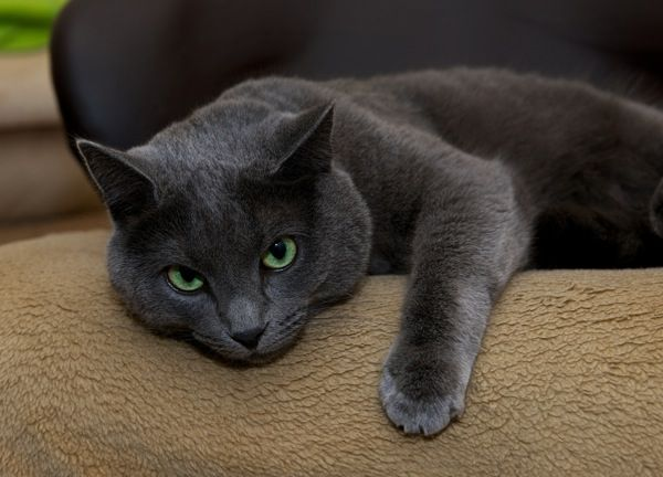 Shelter Vs Purebred Cat