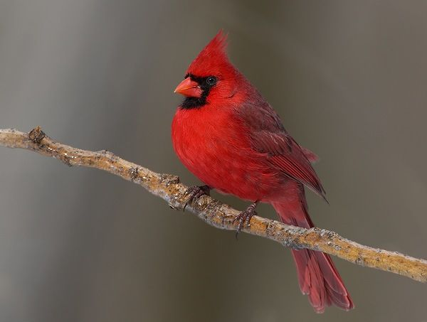 Red Jay Birds | Posts related to red jay bird | wonders of ...