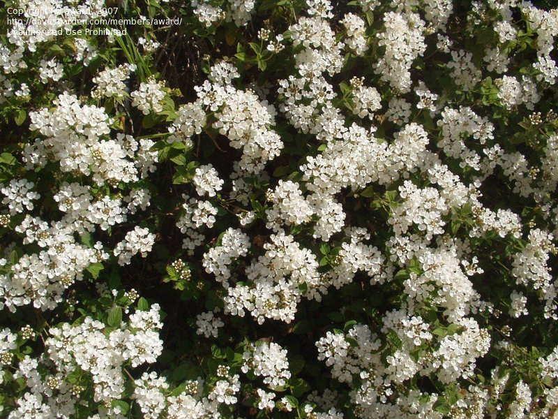 Full Size Picture Of White Lantana Wild Sage I Lantana Involucrata I Lantana White Flowering Plants Garden Shrubs