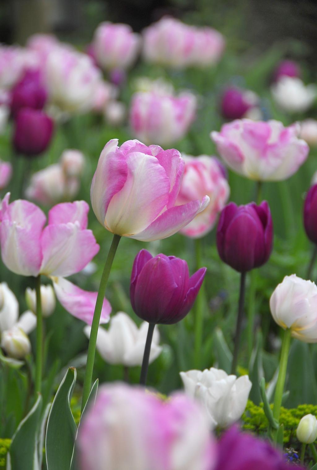 Allium aflatunense 'Gladiator' -