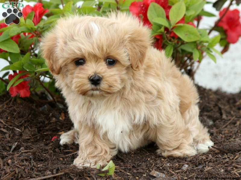 Maltipoo Puppy In Ohio Maltipoo Puppy For Sale Maltipoo Puppy