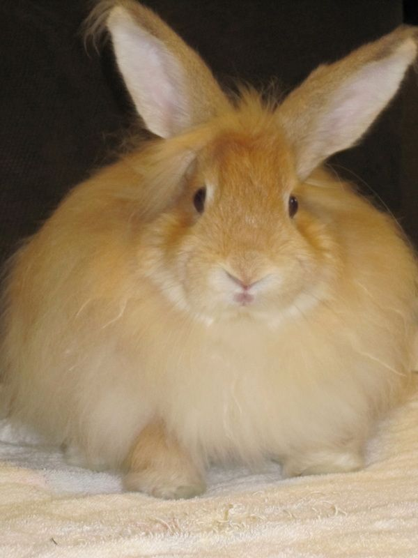 Jersey Wooly Lionhead Mix Rowdy Animals Rabbit