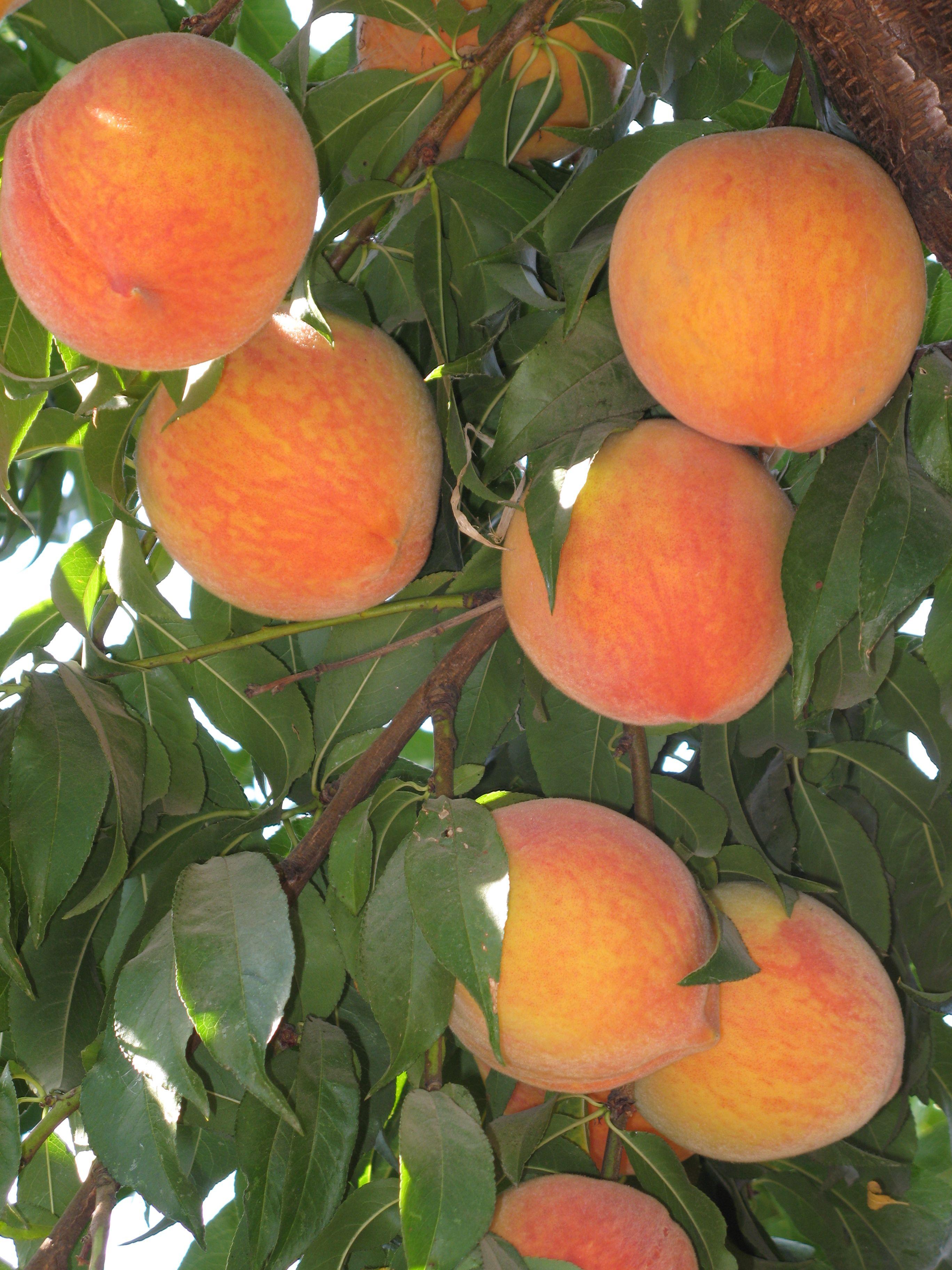 Peaches - Peach Picking At Mas Masumotos Farm Fresh Peach
