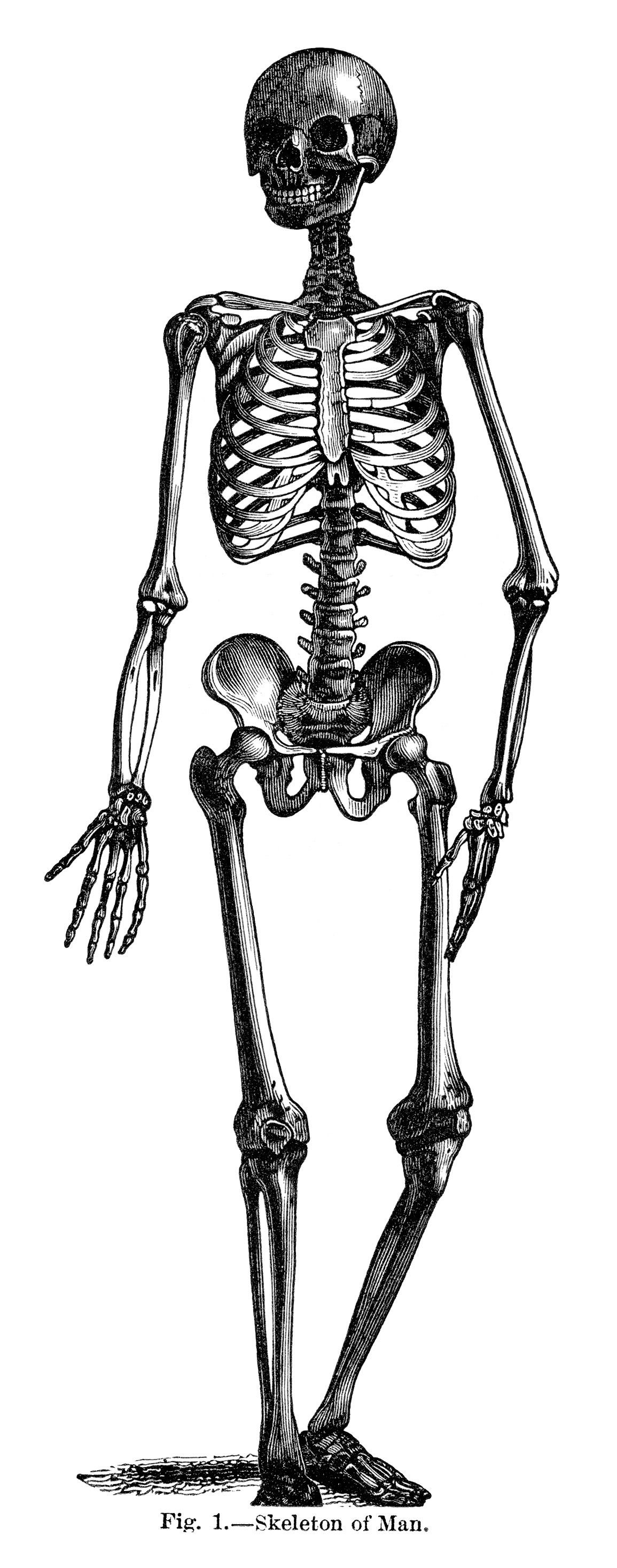 Skeleton of Man ~ Free Vintage Halloween Clip Art Illustration ...