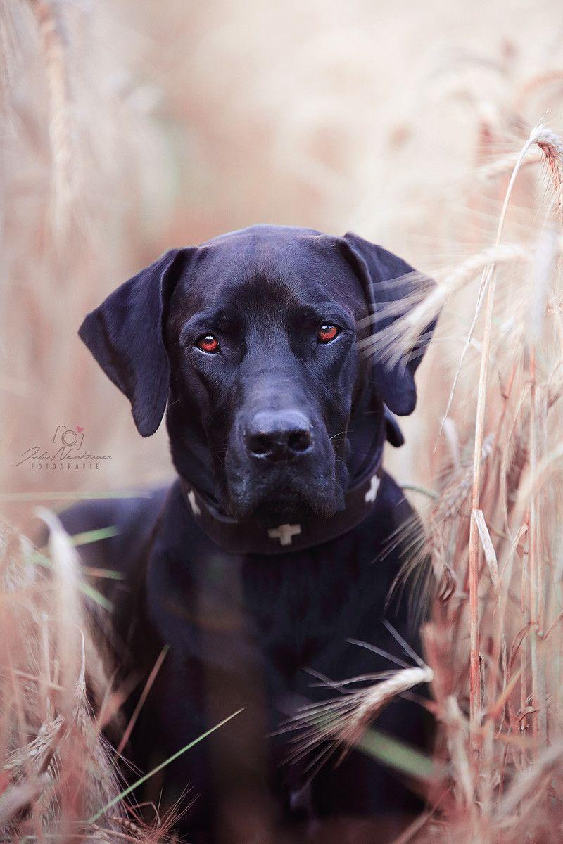 Pan Ein Rido Rhodesian Ridgeback Deutsche Dooge Mix Hunde Schwarze Hunde Haustiere
