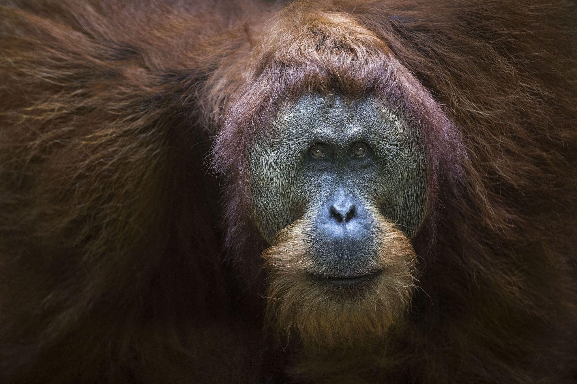 Male orangutan by Ian Plant - Photo 159163593 - 500px