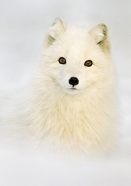 Renard blanc | renard blanc et loup | Arctic fox, Animals ...