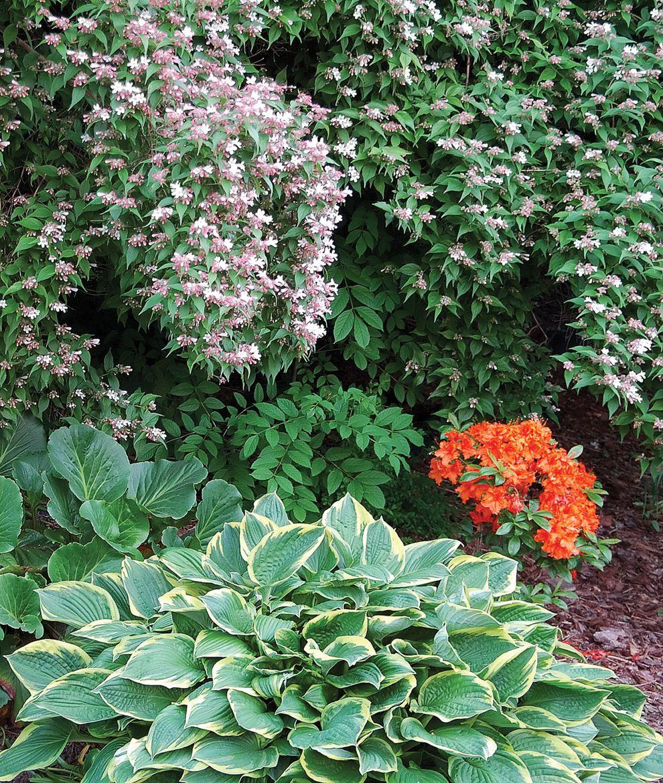 Hostas Oklahoma Gardener Web Articles Garden Georgia Gardening