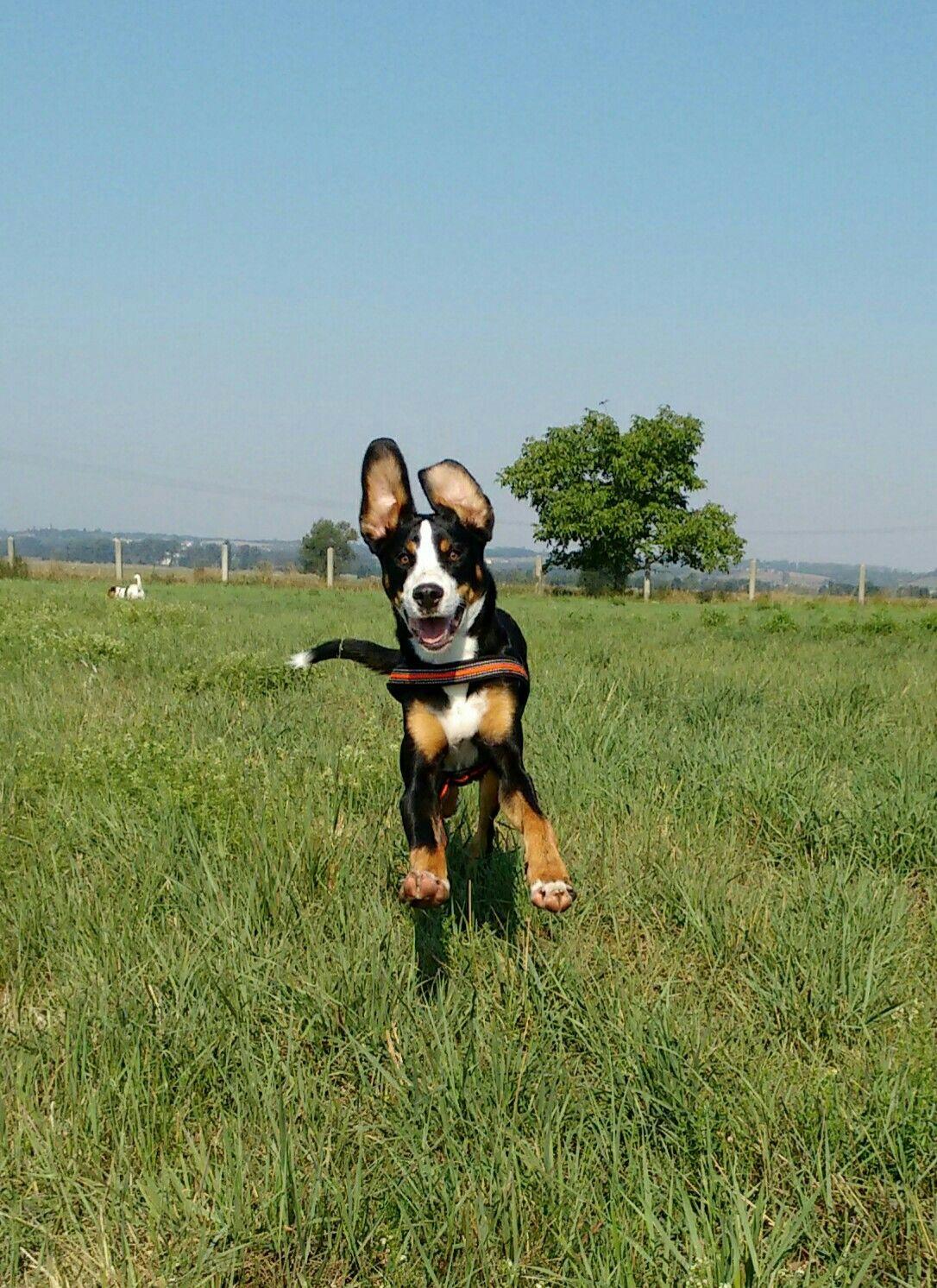 Pin Von Moecku Auf Grosser Schweizer Sennenhund Schweizer Sennenhund Sennenhund Grosser Schweizer Sennenhund
