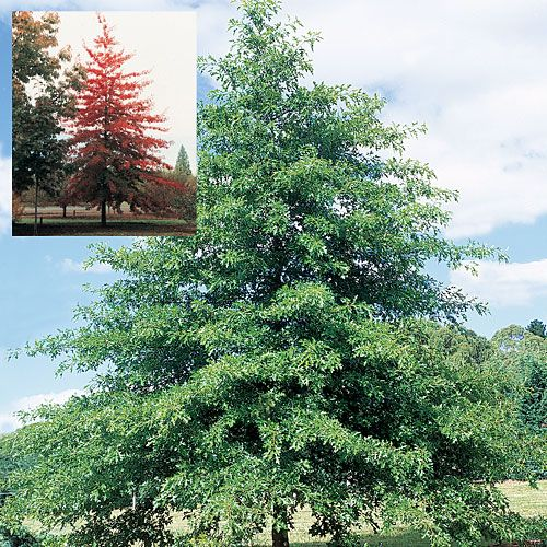 Quercus or Oak trees are the ideal choice for avenue planting like this classic Pin Oak.