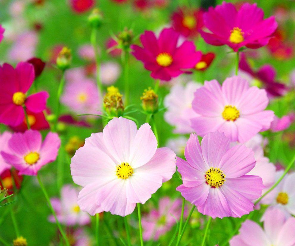 "Пазл Разноцветная ""ромашка"" — собрать пазл онлайн   Цветы ..."