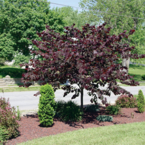 Forest Pansy Redbud Add Beauty To Your Yard Year Round Dark Red