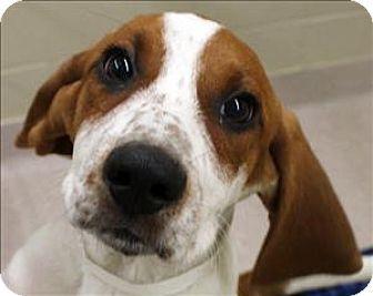 Birmingham Al Foxhound Mix Meet Nutty Butty A Puppy For